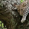 Sleepy Leopard in Tanzania<br /> Raymond Barlow Photo Tours to Tanzania Wildlife and Nature<br /> <br /> ray@raymondbarlow.com<br /> Nikon D300 ,Nikkor 200-400mm f/4G ED-IF AF-S VR<br /> 1/50s f/8.0 at 400.0mm iso200