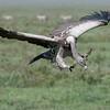 Vulture in Tanzania<br /> RJB Tanzania, Africa Tours<br /> Nikon D300 ,Nikkor 200-400mm f/4G ED-IF AF-S VR<br /> 1/1000s f/5.6 at 200.0mm iso250
