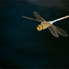 "Dragonfly in Flight<br /> RJB Ontario Photography Tours<br /> <br />  <a href=""http://www.raymondbarlow.com"">http://www.raymondbarlow.com</a><br /> 1/6400s f/4.0 at 290.0mm iso640"