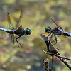 Battle of the Dragons!<br /> <br /> Blue skimmers<br /> <br /> These two both wanted the king's perch!   They fought it out for a bunch of frames, and the current king held his ground.<br /> <br /> I was so fortunate to have bumped up my f-stop to f9, to create the depth of field needed to get these guys in good sharp focus.  ISO 2,000 was easy to manage, and 1/5000 of a second shutter speed did a nice job.<br /> <br /> The light was overhead, so things could have been better, but fun regardless.  <br /> <br /> It is a weird thing, I enjoy dragonfly photography as mush as anything, but the opportunity window is short.  A great summer pastime, so long as it is not too hot out there.<br /> <br /> The swallows in the area are having their fill, so the number of insects seems to be suffering on these ponds.<br /> <br /> Another try tomorrow, as the skies look threatening today.<br /> <br /> Thanks for looking!
