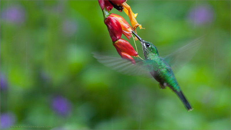 Green-crowned Brilliant in Flight<br /> RJB Colours of Costa Rica Tour<br /> <br /> ray@raymondbarlow.com<br /> 1/125s f/4.0 at 270.0mm iso640