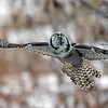 "The owl took a dive into the snow, missed the kill and came back up to look for more!  I am happy to have iso 4000 usable on this camera, to gain shutter speed when needed.<br /> <br /> Another fun experience!  Heading back tomorrow if all goes well!<br /> <br /> Northern Hawk Owl Lift Off!<br /> Ontario, Canada<br /> <br />  <a href=""http://www.raymondbarlow.com"">http://www.raymondbarlow.com</a><br /> Sony Alpha α7R IV ,Sony 100-400GM<br /> 1/5000s f/5.6 at 400.0mm iso4000"