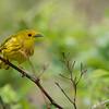 Yellow warbler<br /> Raymond's Ontario Nature Photography Tours<br /> <br /> ray@raymondbarlow.com<br /> Nikon D810 ,Nikkor 200-400mm f/4G ED-IF AF-S VR<br /> 1/500s f/4.0 at 400.0mm iso64