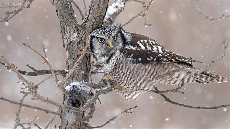 """In this 2 image set, the hawk owl struggles with it's cache, as the wet snow previously has frozen the food to the trunk of the tree.  it moved on to another meal in a small pine tree, but we were too far to see how successful this owl was with its second choice.<br /> <br /> Northern Hawk Owl with Lunch 2<br /> Ontario, Canada<br /> <br />  <a href=""""http://www.raymondbarlow.com"""">http://www.raymondbarlow.com</a><br /> Sony Alpha α7R IV ,Sony 100-400GM<br /> 1/320s f/5.6 at 400.0mm iso640"""