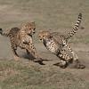 Cheetahs at Play Series 12 Shots  - Image 10-12