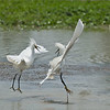 We had a very nice covered deck along side a very large pond in South Texas,  mid pm heat about 110 F with the humidity!   Seemingly these 2 egrets didn't realize how hot it was!  <br /> <br /> The battle raged on for about 5 minutes, they both used a lot of energy and finally settled down.  I would have enjoyed a lower angle, but it was just too hot in the sun, and there were some  seriously nasty bugs down there called Chiggers... they got me earlier in the week, and once is enough!!<br /> <br /> Snowy egret Battle<br /> South Texas<br /> <br /> ray@raymondbarlow.com<br /> Nikon D850 ,Nikkor 200-400mm f/4G ED-IF AF-S VR<br /> 1/2500s f/6.3 at 400.0mm iso400