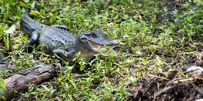 Wall's Alligator Farm