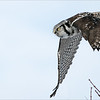 """With the A9 Sony firing at 20 frames per second, catching a lift of sequence is a lot of fun!   <br /> I am really looking forward to the weekend and some return trips to visit this owl!<br /> Great to get some practice in before Africa!  Both of these 2 new Sony cameras come with a large learning curve.  Great and awesome!<br /> <br /> Northern Hawk owl in Flight 4<br /> Ontario, Canada<br /> <br />  <a href=""""http://www.raymondbarlow.com"""">http://www.raymondbarlow.com</a><br /> Sony Alpha A9,Sony 100-400GM<br /> 1/5000s f/5.6 at 400.0mm iso640"""