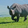 Black Rhino - re-edit