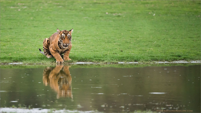 Royal Bengal Tiger Preparing for a Fight<br /> RJB India Photo Tours<br /> <br /> A sister looking for her siblings, getting ready for a fight!<br /> Rajasthan, India<br /> <br /> raymonds Tiger Photo Tours.<br /> Nikon D800 ,Nikkor 200-400mm f/4G ED-IF AF-S VR<br /> 1/1250s f/4.0 at 400.0mm iso2500