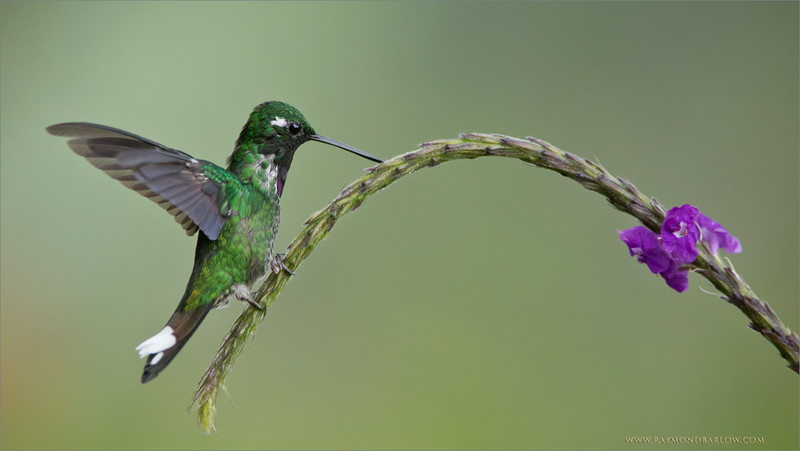 "It is Interesting -<br /> <br /> That a Hummingbird cannot walk!<br /> <br /> The gift of light is any hummingbirds main source of movement.  their legs are designed to perch only!  Too compensate, these birds are the only type that can actually fly in reverse!<br /> <br /> Enjoying nature, and all its wonder can be a truly memorable experience.  To spend 9 days on tour to this wonderful country is such a privilege.  The peace and quiet in the mountains of Ecuador is remarkable.<br /> <br /> My tour in November is all prepared, please feel free to enquirer.<br /> <a href=""http://tinyurl.com/q8e7w8r"">http://tinyurl.com/q8e7w8r</a><br /> <br /> <br /> Purple-bibbed Whitetip<br /> RJB Ecuador Tours<br />  <a href=""http://www.raymondbarlow.com"">http://www.raymondbarlow.com</a><br /> 1/4000s f/4.5 at 350.0mm iso3200"