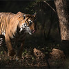 """A Candle in the Darkness -  The Bengal Tiger<br /> <br /> Our 4th safari into the park was a success - We saw 4 tigers!<br /> <br /> This female had 2 cubs, and was on her way to hunt as she passed by our safari truck!  Our guide - Mr. AJ.<br /> <br /> 16 more safaris here in India, but our goal for a shot has been accomplished.  Everything else is just a bonus!<br /> <br /> Special thanks to my friends:<br />  Aun Marwah<br /> Thomas Vijayan<br /> Mohan Vijayan<br /> <br /> Please visit this amazing hotel, as my great friend<br /> Ravindra Jain will be happy to help you!! The superb service<br /> and excellent rooms will help you enjoy your stay!<br /> <br /> <a href=""""http://www.ranthambhor.com/"""">http://www.ranthambhor.com/</a><br /> Ranthanbore Regency Hotel<br /> <br /> Bengal Tiger at Ranthambore National Park<br /> RJB India Tours<br />  <a href=""""http://www.raymondbarlow.com"""">http://www.raymondbarlow.com</a><br /> <br /> <a href=""""http://www.ranthambhor.com/"""">http://www.ranthambhor.com/</a><br /> <br /> Camera Settings:<br /> 1/1600s f/4.0 at 400.0mm iso500"""
