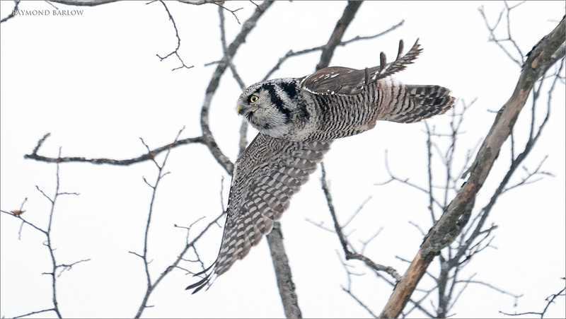 """Another interesting day with the Hawk Owl, unfortunately we didn't get a good angle for a background today, so blah white sky behind the bird.<br /> <br /> next time!<br /> <br /> Northern Hawk Owl in flight!<br /> Ontario, Canada<br /> <br />  <a href=""""http://www.raymondbarlow.com"""">http://www.raymondbarlow.com</a><br /> Sony Alpha A9,Sony 100-400GM<br /> 1/2000s f/5.6 at 400.0mm iso6400"""