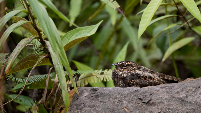 Blackish Nightjar<br /> Raymond's Ecuador Photography Tours<br /> <br /> ray@raymondbarlow.com<br /> Nikon D810 ,Nikkor 200-400mm f/4G ED-IF AF-S VR<br /> 1/2500s f/4.0 at 400.0mm iso800