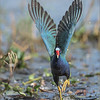 """Purple Gallinule Lift Off<br /> Raymond Barlow Photo Tours to USA - Wildlife and Nature<br /> <br />  <a href=""""http://www.raymondbarlow.com"""">http://www.raymondbarlow.com</a><br /> Nikon D810 ,Nikkor 600 mm f/4 ED<br /> 1/4000s f/4.5 at 600.0mm iso1600"""