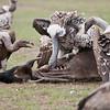 Vultures on a Kill - Serengeti Photo Tours