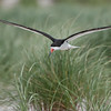 "Black Skimmer in Flight<br /> RJB USA Tours<br /> <br />  <a href=""http://www.raymondbarlow.com"">http://www.raymondbarlow.com</a><br /> 1/2000s f/4.0 at 400.0mm iso200"
