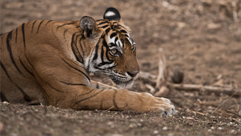 Royal Bengal Tiger Portrait<br /> Raymond's Wild Tiger Photography Tours<br /> <br /> ray@raymondbarlow.com<br /> Nikon D810 ,Nikkor 200-400mm f/4G ED-IF AF-S VR<br /> 1/400s f/5.6 at 400.0mm iso1600