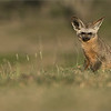 A friendly Fox<br /> <br /> A second image of the most wonderful Bat-eared Fox.<br /> <br /> Bat-eared fox - Tanzania<br /> Raymond Barlow Photo Tours to Tanzania Wildlife and Nature<br /> <br /> ray@raymondbarlow.com<br /> Nikon D850 ,Nikkor 200-400mm f/4G ED-IF AF-S VR<br /> 1/500s f/6.3 at 400.0mm iso200