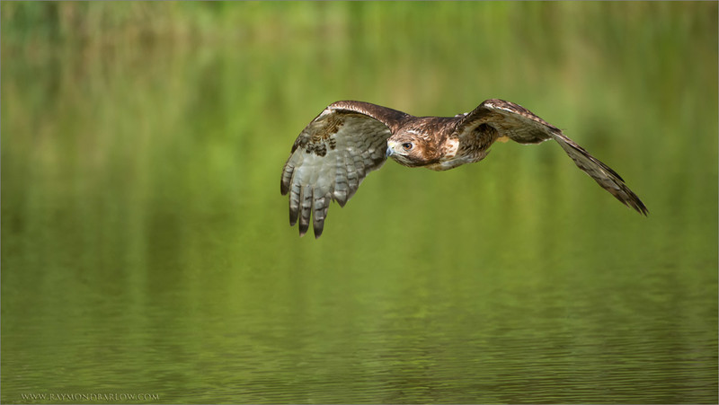Red-tailed Hawk in Flight (Falconers bird)<br /> RJB Raptors in Flight<br /> <br /> ray@raymondbarlow.com<br /> 1/8000s f/4.0 at 400.0mm iso1250