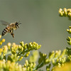 "Honey Bee in Flight<br /> Raymond's Ontario Nature Photography Tours<br /> <br />  <a href=""http://www.raymondbarlow.com"">http://www.raymondbarlow.com</a><br /> Nikon D810 ,Nikkor 200-400mm f/4G ED-IF AF-S VR<br /> 1/4000s f/7.1 at 400.0mm iso1600"