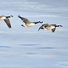 3 is a special number to me.<br /> <br /> <br /> Personal meaning, but I always smile when I have a cool reference to the number three.  <br /> <br /> <br /> Canada Geese in Ice!<br /> <br /> <br /> My daughter and I were testing out some new gear purchased last week, mage by Gitzo, manufactured in Italy.  A great company, superb top of the line products.  (picture in the first comment below.)<br /> <br /> <br /> Without getting into great detail, This new gear will really make a big difference in my keeper rate with flight shooting, and with videos.<br /> <br /> <br /> These 3 geese were in a big hurry, on their way to greener pastures I hope, as there is so little food on the frozen bay here in Southern Ontario.<br /> <br /> <br /> Can you see where each goose has its eyes focused?  <br /> <br /> Thanks for looking,