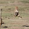 Cheetahs at Play Series 12 Shots  - Image 3-12