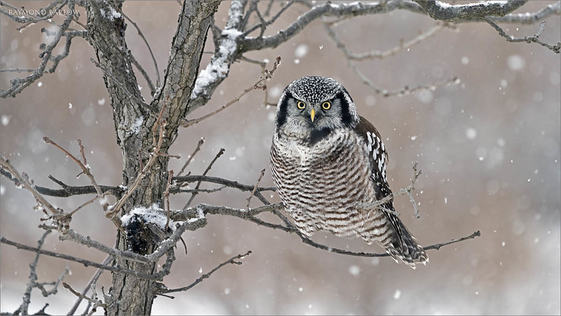 """Dinner was frozen to the tree!<br /> <br /> The owl pulled and scratched at it's meal, but the cold weather would not allow it to release the meal.  Real nature at its best, so much fun to watch and see this bird carry on and perform for us all.<br /> <br /> Northern Hawk Owl with Frozen Dinner<br /> Ontario, Canada<br /> <br />  <a href=""""http://www.raymondbarlow.com"""">http://www.raymondbarlow.com</a><br /> Sony Alpha α7R IV ,Sony 100-400GM<br /> 1/500s f/5.6 at 400.0mm iso640"""