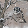 "Dinner was frozen to the tree!<br /> <br /> The owl pulled and scratched at it's meal, but the cold weather would not allow it to release the meal.  Real nature at its best, so much fun to watch and see this bird carry on and perform for us all.<br /> <br /> Northern Hawk Owl with Frozen Dinner<br /> Ontario, Canada<br /> <br />  <a href=""http://www.raymondbarlow.com"">http://www.raymondbarlow.com</a><br /> Sony Alpha α7R IV ,Sony 100-400GM<br /> 1/500s f/5.6 at 400.0mm iso640"