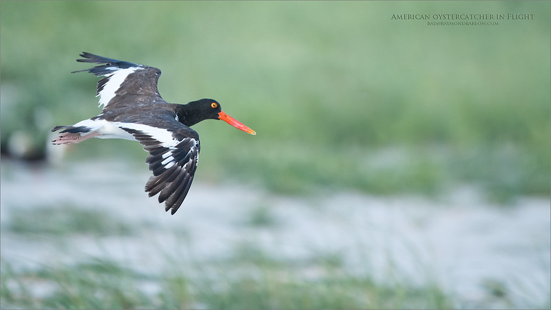 Another Photo-shoot on Long Island NY, what a blast!  Pretty much none stop birds in flight, it can wear you out!   Just a short 3 day trip,  2 nights in a very nice hotel, and some great NYC food.  <br /> <br /> Looking forward to the next trip!<br /> <br /> American oystercatcher in Flight<br /> Long Island - NY<br /> <br /> ray@raymondbarlow.com<br /> Nikon D850 ,Nikkor 200-400mm f/4G ED-IF AF-S VR<br /> 1/1600s f/4.0 at 400.0mm iso1000