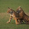 "Royal Bengal Tiger Cubs at Play<br /> RJB India Tours<br /> <br />  <a href=""http://www.raymondbarlow.com"">http://www.raymondbarlow.com</a><br /> 1/2000s f/4.0 at 300.0mm iso1600"