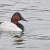 "Canvasback<br /> <br /> I am not sure how this duck got it's name, but he is a beauty!  My favourite duck easily!  <br /> <br /> Testing the a7r4 in low light on the water with some snow coming down, and of course, for most of the shoot my setting on the AF were messed up!  It's not so much fun trying to problem solve on a photo shoot when the light is fading!<br /> <br /> Finally, I got the 'ducks"" in line, and came home with a few shots., nothing too exciting, but definitely a sweet looking bird!<br /> <br /> <br /> Canvasback<br /> Burlington Ontario<br /> <br />  <a href=""http://www.raymondbarlow.com"">http://www.raymondbarlow.com</a><br /> Sony a7r4,Sony FE 100-400mm F4.5–5.6 GM OSS<br /> 1/1000s f/5.6 at 400.0mm iso1000"