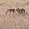 Lions on the Move<br /> Raymond Barlow Photo Tours to Tanzania Wildlife and Nature<br /> <br /> ray@raymondbarlow.com<br /> Nikon D810 ,Nikkor 200-400mm f/4G ED-IF AF-S VR<br /> 1/2000s f/6.3 at 350.0mm iso640