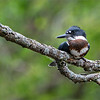 """Daisy, Maria and I were out again, having fun at a local breeding site for kingfishers.  From what I see, we have a mating pair of adults, and 3 fledglings. All females!  <br /> <br /> This tiny bird was  20 meters away (65 feet) and she did a sweet job of posing.  No blind this time, Maria and I were just standing there, setting up the gear as she flew into this perch.<br /> <br /> Even more amazing, she let me take a few steps closer without feeling threatened.  Again, my luck never seems to run out.<br /> <br /> So I stopped down to f10, turned down the shutter speed to 1/25th of a second, and set up the timer to 5 seconds.  Thank goodness, she read my mind - """"stay still, please!"""".  It definitely worked. <br /> <br /> Also, the 200-600mm Sony had the Sony 1.4 teleconverter attached, so I am shooting at 850mm optical, then add the 1.5 crop factor in camera, leaving me with 1260mm.   Add another 50% crop to the editing process!  So you can imagine how small this juvenile is. <br /> <br /> The 125 ISO setting saves the image.  Really low light and this low ISO setting still leaves me with super detail on the finished shot.  Also, thanks to my Gitzo tripod (pre-2008 model) and the GHFG1 Fluid Gimbal Head.   <br /> <br /> Overall, I would have preferred to have my A7r4 connected, for a better high resolution file.   We were using the A9, anticipating some action shots at a very high ISO setting.  The clouds got heavy, so we headed home.<br /> <br /> Thanks for looking, please feel free to share!  Social media links below.<br /> <br /> Take care"""