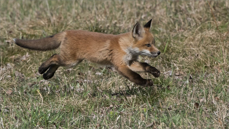 Red Fox Kit in Flight<br /> Raymond's Ontario Nature Photography Tours<br /> <br /> ray@raymondbarlow.com<br /> Nikon D810 ,Nikkor 200-400mm f/4G ED-IF AF-S VR<br /> 1/2500s f/10.0 at 400.0mm iso1000