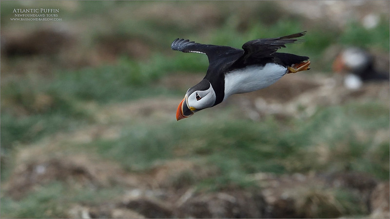 Puffin in flight<br /> 2016 Photo Tour. <br /> <br /> So much fun catching flight shots of these beauty's!  i am still hoping for a tour to happen in 2021 summer!