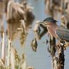 Green heron in Florida<br /> Raymond Barlow Photo Tours to USA - Wildlife and Nature<br /> <br /> ray@raymondbarlow.com<br /> Nikon D810 ,Nikkor 600 mm f/4 ED<br /> 1/2500s f/5.6 at 600.0mm iso640