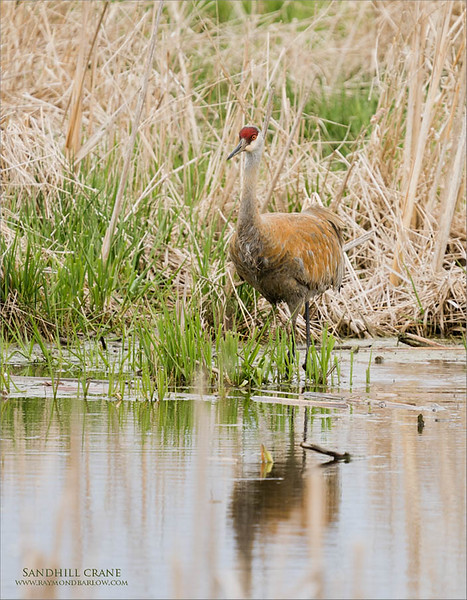 A beautiful Sandhill crane takes a walk through a nice natural pond on a farm near Paris, Ontario.<br /> <br /> Workshops and tours - raymondjbarlow@yahoo.ca<br /> <br /> Thanks for looking!