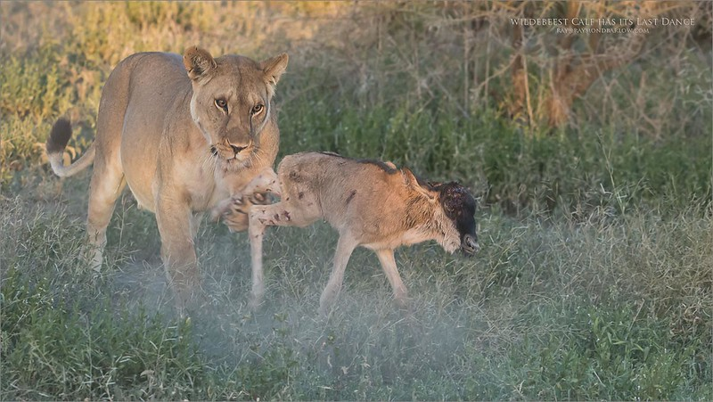 A Serengeti Lions Life<br /> <br /> A short life in the big circle of the Serengeti.  This 3-4 day old calf, disengaged from the herd and its parent female doesn't have a chance against the  400 pound Lioness.<br /> <br /> Like many feline species, when they have a kill locked in, they will play with it for fun<br /> <br /> Wildebeest Calf has its Last Dance<br /> Tanzania, Africa<br /> <br /> ray@raymondbarlow.com<br /> Nikon D850 ,Nikkor 200-400mm f/4G ED-IF AF-S VR<br /> 1/200s f/5.6 at 220.0mm iso1250