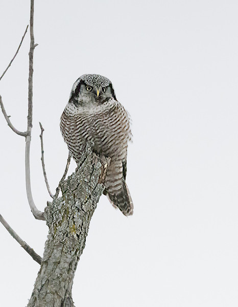 """Northern  Hawk Owl on a Stick!<br /> <br /> 32000 iso seem amazing for a 61 Mp Camera, but here it is!<br /> <br /> Hopefully some more high iso testing soon.<br /> <br /> Northern Hawk Owl<br /> Ontario, Canada<br /> <br />  <a href=""""http://www.raymondbarlow.com"""">http://www.raymondbarlow.com</a><br /> Sony Alpha α7R IV ,Sony 100-400GM<br /> 1/8000s f/9.0 at 400.0mm iso32000"""