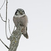 "Northern  Hawk Owl on a Stick!<br /> <br /> 32000 iso seem amazing for a 61 Mp Camera, but here it is!<br /> <br /> Hopefully some more high iso testing soon.<br /> <br /> Northern Hawk Owl<br /> Ontario, Canada<br /> <br />  <a href=""http://www.raymondbarlow.com"">http://www.raymondbarlow.com</a><br /> Sony Alpha α7R IV ,Sony 100-400GM<br /> 1/8000s f/9.0 at 400.0mm iso32000"