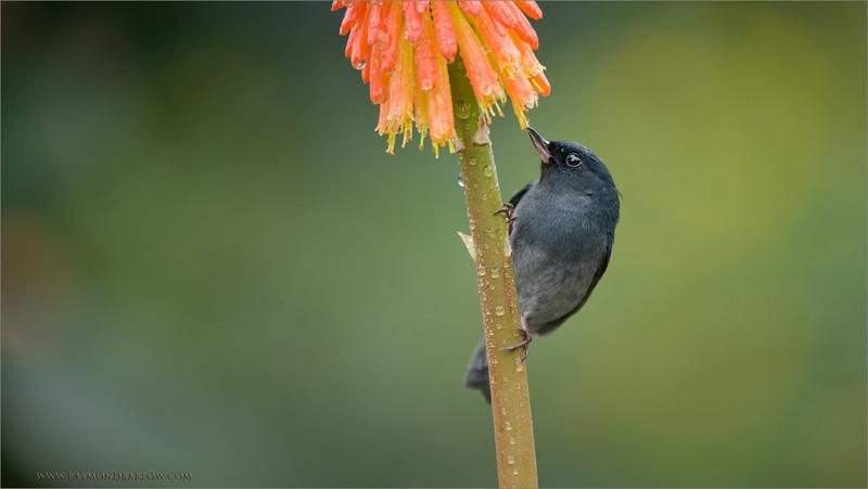 Slaty flowerpiercer<br /> RJB Colours of Costa Rica Tour<br /> <br /> ray@raymondbarlow.com<br /> 1/500s f/4.0 at 360.0mm iso1000