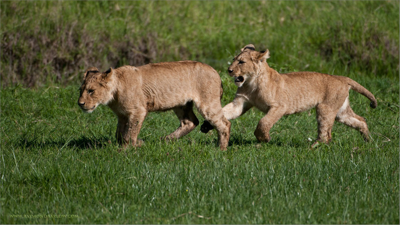 Lion Cubs in Play