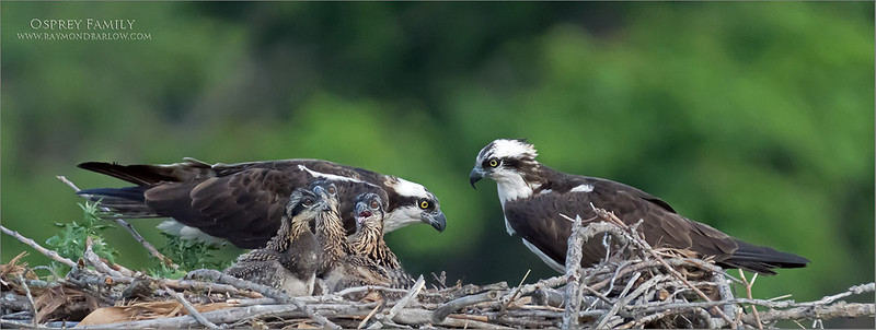 Osprey family portrait <br /> <br /> Thanks to buddy Bruce Kennedy for the fun night at the Osprey nest!<br /> <br /> Amazing how fast these chicks grow, in just 6 days, they are at least 4 times the size!  And in about 3 weeks, they will be as big as the adults!<br /> <br /> More soon I hope.<br /> <br /> Thanks for looking.
