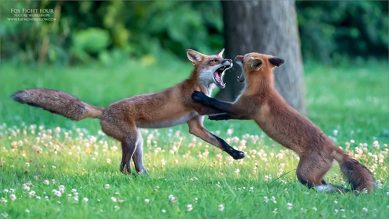 Fox fight Four!<br /> <br /> For the full story, please refer to fox fight one.  Thanks for looking
