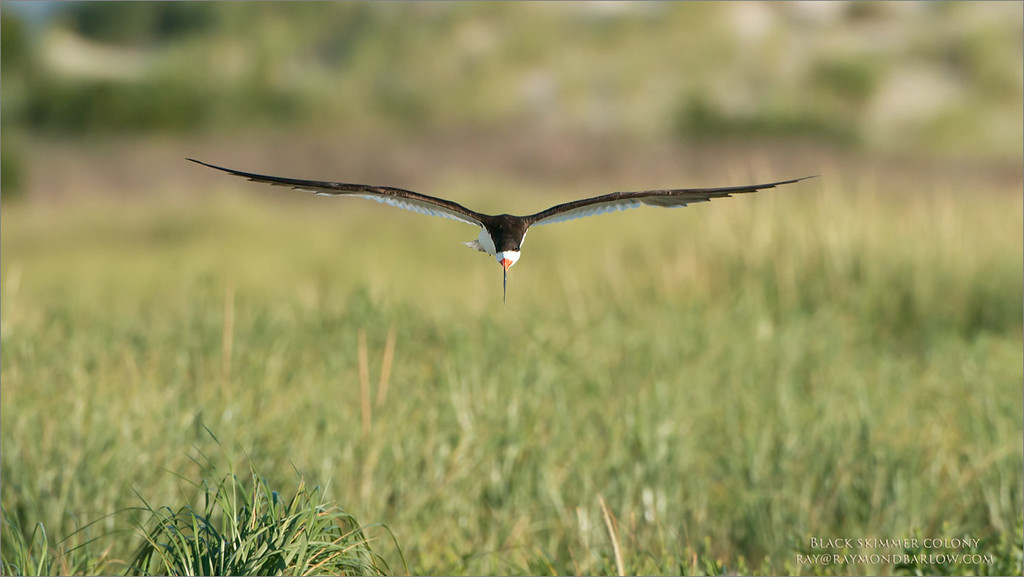 Black Skimmer Head on in Flight<br /> Raymond Barlow Photo Tours to USA - Wildlife and Nature<br /> <br /> ray@raymondbarlow.com<br /> Nikon D800 ,Nikkor 200-400mm f/4G ED-IF AF-S VR<br /> 1/4000s f/5.6 at 400.0mm iso500