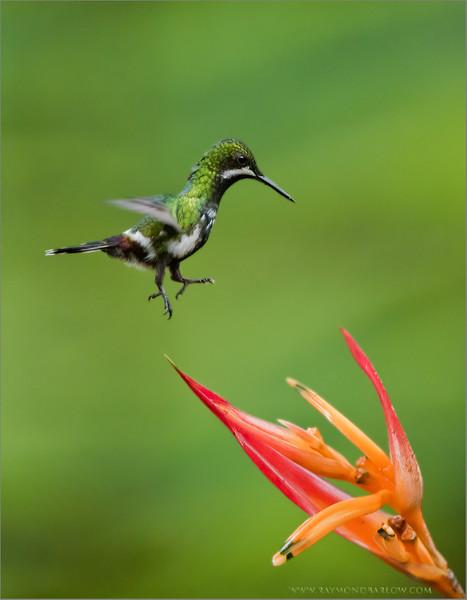 Green Thorntail Landing<br /> Raymond's Ecuador Photography Tours<br /> <br /> ray@raymondbarlow.com<br /> Nikon D810 ,Nikkor 200-400mm f/4G ED-IF AF-S VR<br /> 1/2000s f/4.0 at 400.0mm iso2500