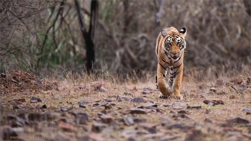 "Royal Bengal Tiger Hunting<br /> RJB India Photo Tours<br /> <br /> ray@raymondbarlow.com<br /> <br /> <a href=""http://raymondbarlowworkshops.blogspot.ca/2014/06/raymond-barlows-bengal-tiger-tour.html"">http://raymondbarlowworkshops.blogspot.ca/2014/06/raymond-barlows-bengal-tiger-tour.html</a><br /> 1/1600s f/4.0 at 400.0mm iso1600"