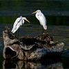 A pair of great white egrets preening on a stump!<br /> <br /> A very cool looking old stump adds a lot of character to these white beauty's.  A gathering of 18 birds were here in this pond, fishing, and preparing for their journey south.<br /> <br /> Niagara Ontario<br /> <br /> Thanks for looking!