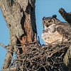 Nesting with Babies!<br /> <br /> Thanks to Swarovski Optics<br /> <br /> A couple of good friends have kept me posted with news of this Great Horned Owl Nest, 2 babies being fed here, a large rat! <br /> <br /> Thanks to my sponsor Swarvoski Optics, this scope is amazing for long distance DSLR photography.  With a crop camera, and the 95mm lens on the modular system, we have an effective reach of 1,340mm  @ 30x  - f9.5.<br /> <br /> This nest is about 60 yards from where I am standing, and about 30 yards up in the air.  The adults nearby, patrolling the security of the nests, as there are many raptors in the area looking for an easy meal.<br /> <br /> Keeping a good distance from the nest is the key to the success of the Great Horned Owls breeding season.  Approaching too close could be detrimental to the lives of the babies.<br /> <br /> Respect for nature is always foremost on my mind, so keeping this location quiet is a priority.<br /> <br /> Great Horned Owl nest<br /> RJB Wild Birds of Ontario Workshops<br /> ray@raymondbarlow.com<br /> Swarovski Spotting Scope - 95mm<br /> 1/2000s iso1000 f9.5